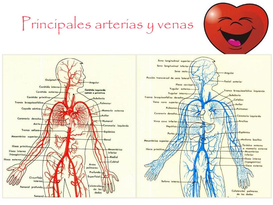 Increíble Arterias Y Venas Patrón - Imágenes de Anatomía Humana ...