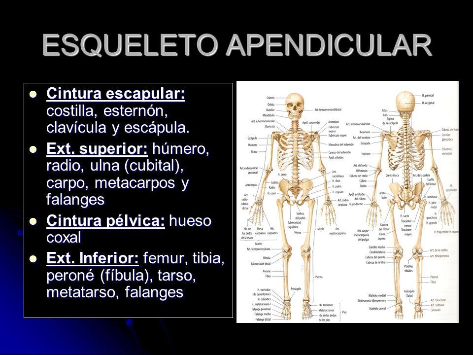 Esqueleto Apendicular Ppt Video Online Descargar