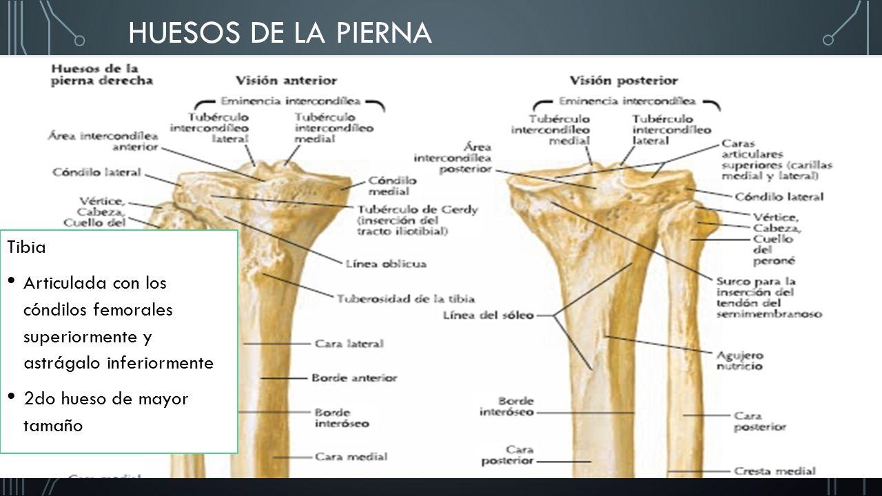 Encantador Huesos De La Pierna Anatomía Humana Ideas - Anatomía de ...