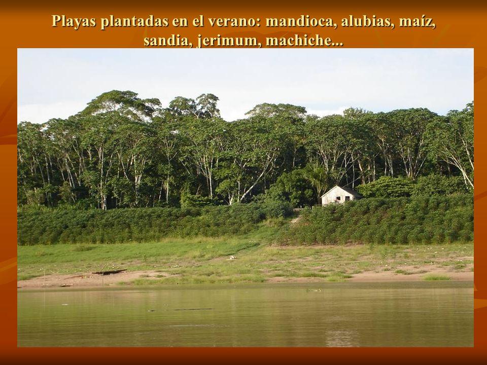 Playas plantadas en el verano: mandioca, alubias, maíz, sandia, jerimum, machiche...