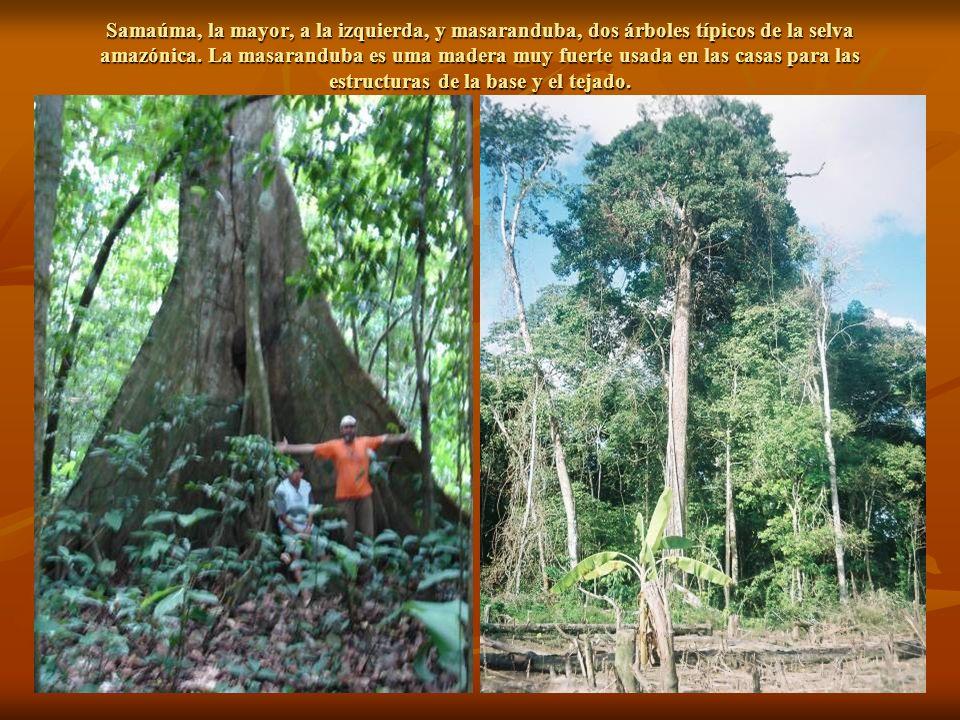 Samaúma, la mayor, a la izquierda, y masaranduba, dos árboles típicos de la selva amazónica.