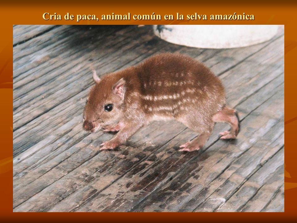 Cria de paca, animal común en la selva amazónica