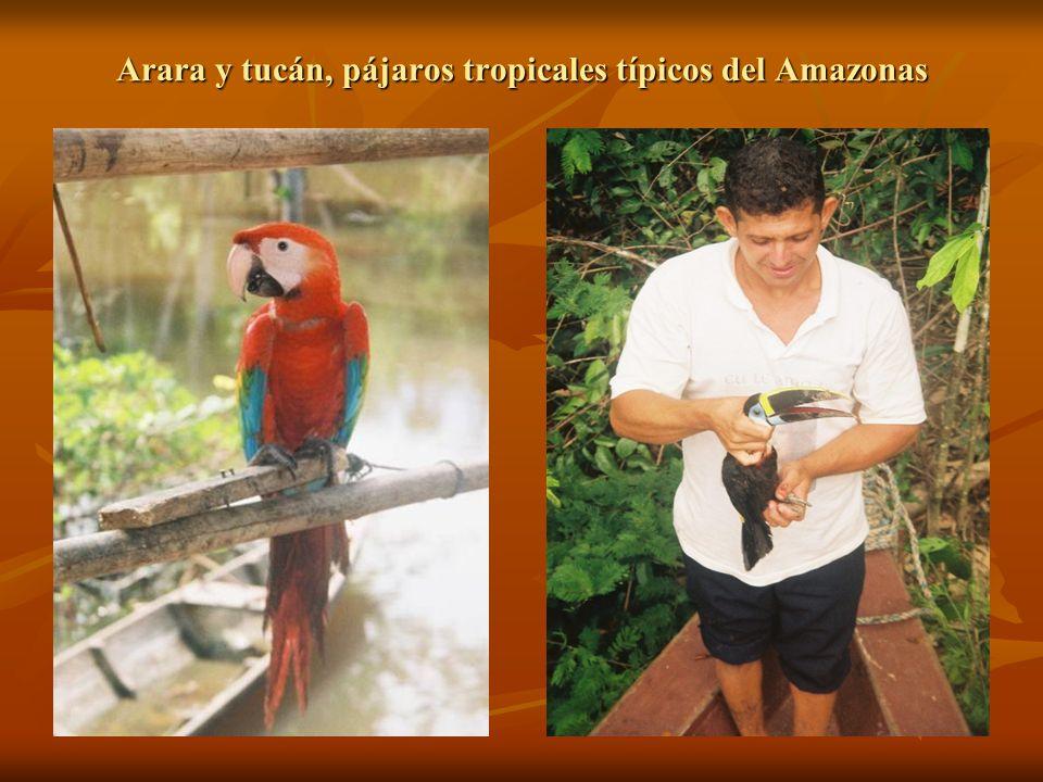 Arara y tucán, pájaros tropicales típicos del Amazonas