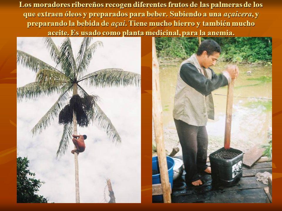 Los moradores ribereños recogen diferentes frutos de las palmeras de los que extraen óleos y preparados para beber.