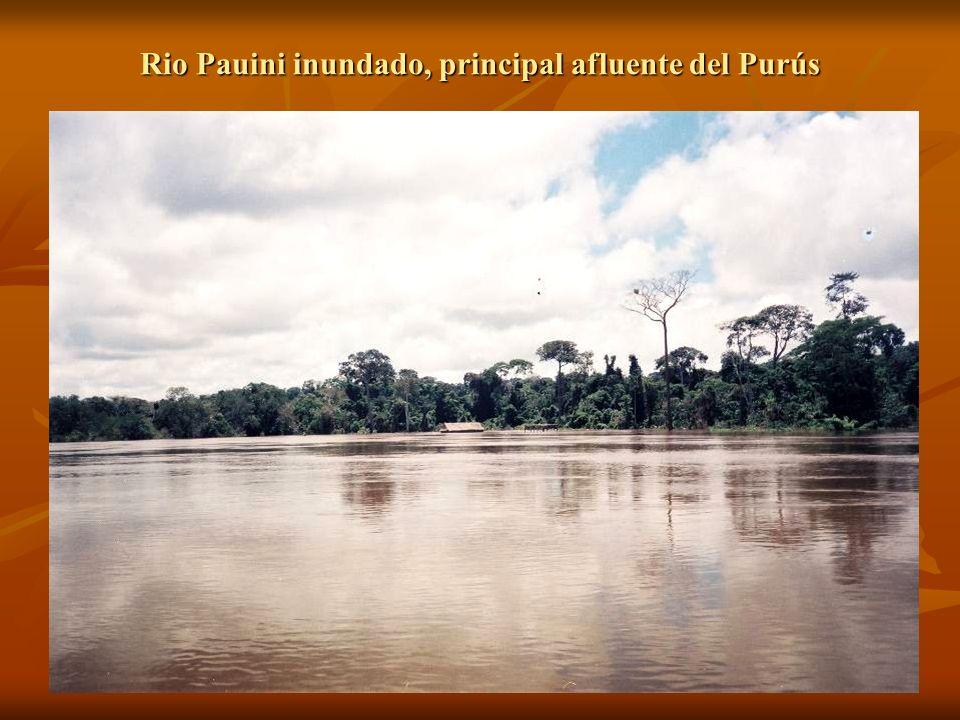 Rio Pauini inundado, principal afluente del Purús