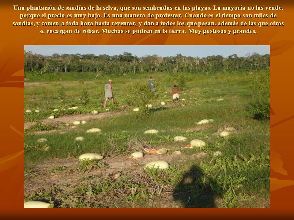 Una plantación de sandías de la selva, que son sembradas en las playas