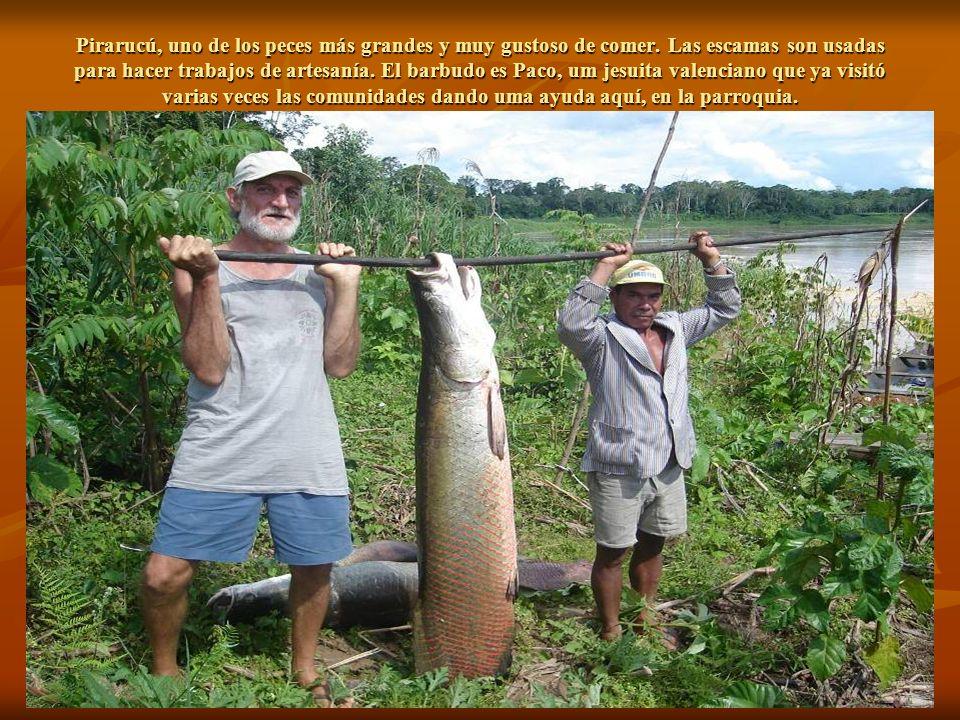 Pirarucú, uno de los peces más grandes y muy gustoso de comer