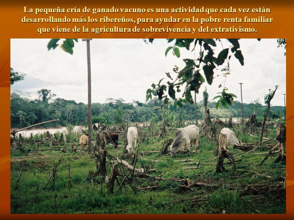 La pequeña cría de ganado vacuno es una actividad que cada vez están desarrollando más los ribereños, para ayudar en la pobre renta familiar que viene de la agricultura de sobrevivencia y del extrativismo.