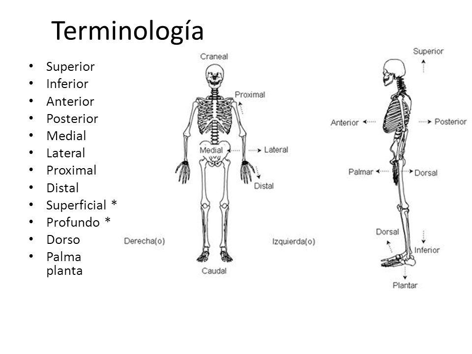Terminología Superior Inferior Anterior Posterior Medial Lateral