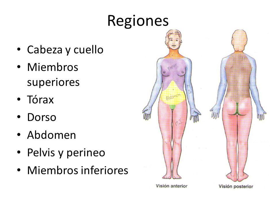 Regiones Cabeza y cuello Miembros superiores Tórax Dorso Abdomen
