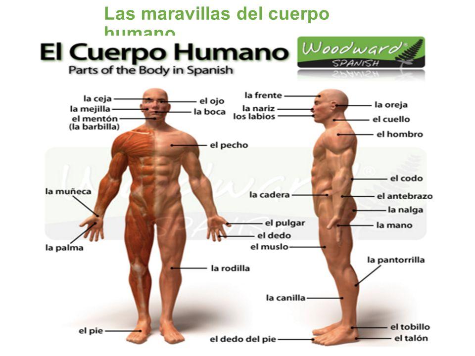 Las maravillas del cuerpo humano - ppt video online descargar