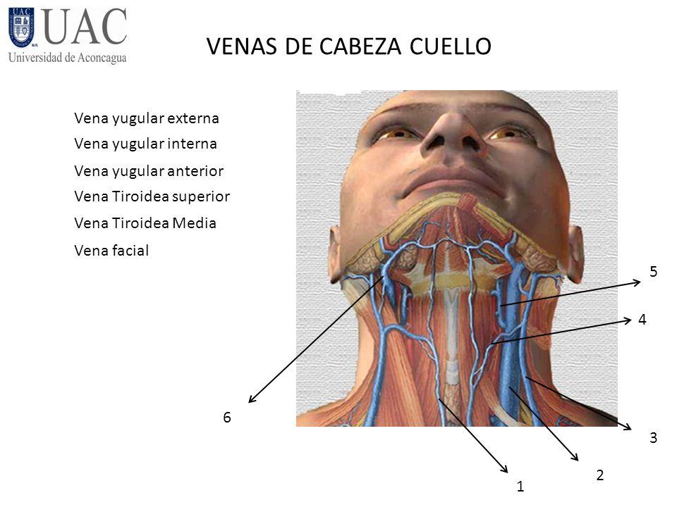 Asombroso Anatomía Izquierda Vena Yugular Interna Embellecimiento ...