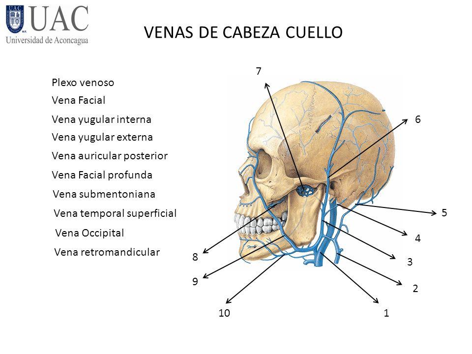 Magnífico Anatomía Derecho Vena Yugular Interna Bosquejo - Imágenes ...
