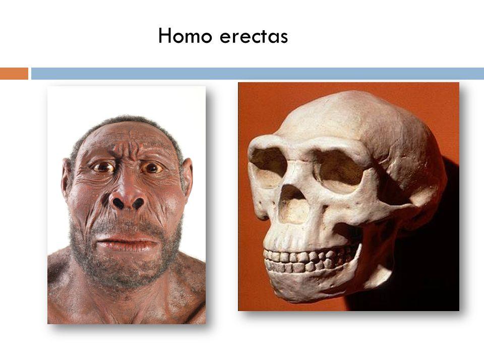 Homo erectas