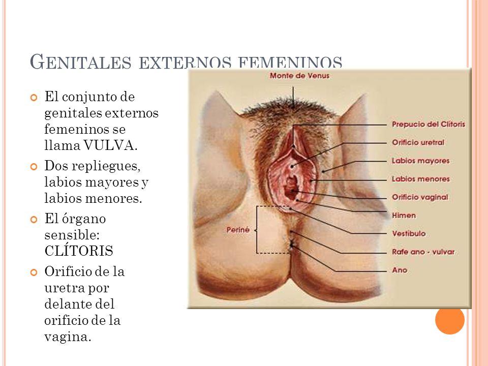 Dorable Uretra Femenina Viñeta - Anatomía de Las Imágenesdel Cuerpo ...