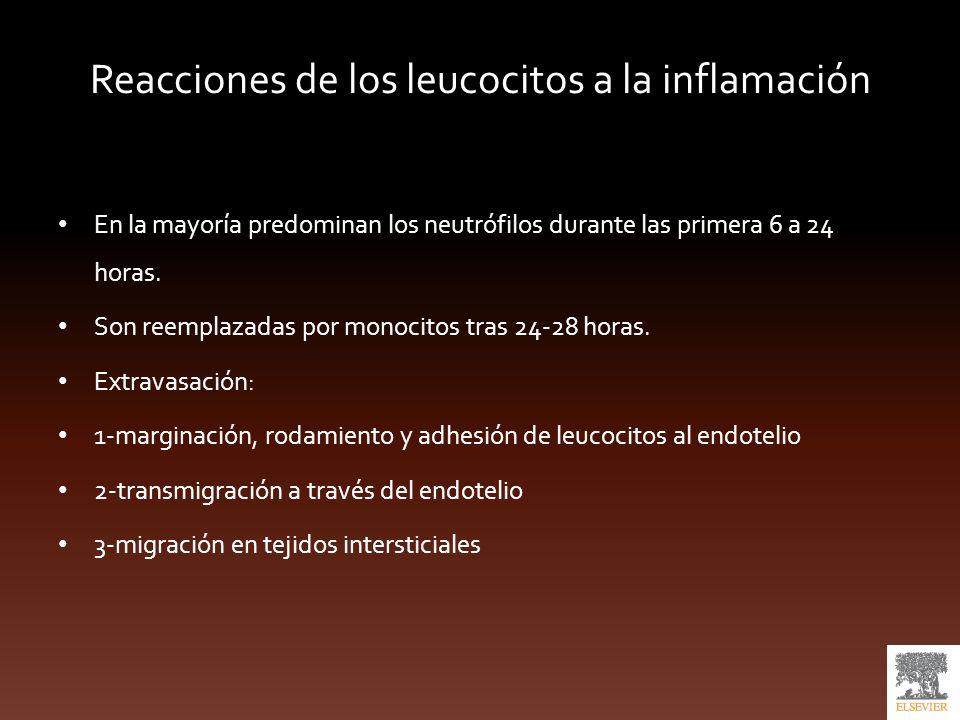 Reacciones de los leucocitos a la inflamación