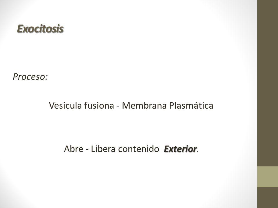 Exocitosis Proceso: Vesícula fusiona - Membrana Plasmática Abre - Libera contenido Exterior.