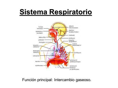 Aparato Respiratorio y Plantas Medicinales. - ppt video online descargar