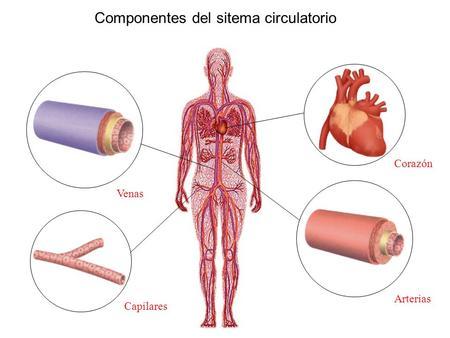 Circuito Circulatorio : Sistema circulatorio ppt video online descargar