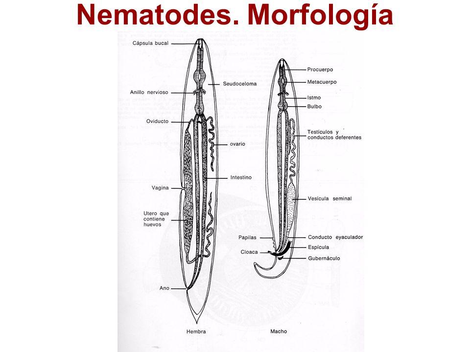 Ascaris morfológia fogyás féreg
