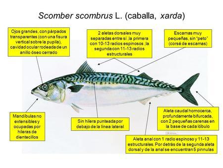 Disección de un pescado mesa # 4 - ppt descargar