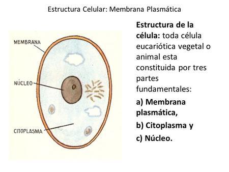 M Embrana Plasmática Objetivo Conocer Las Estructuras De La