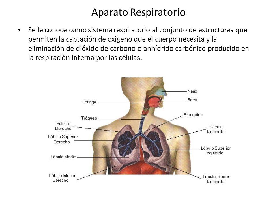 Aparato Respiratorio Se Le Conoce Como Sistema Respiratorio Al Conjunto De Estructuras Que Permiten La Captación De Oxigeno Que El Cuerpo Necesita Y La Ppt Video Online Descargar