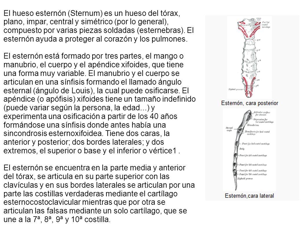 Único Hueso Esternón Componente - Imágenes de Anatomía Humana ...