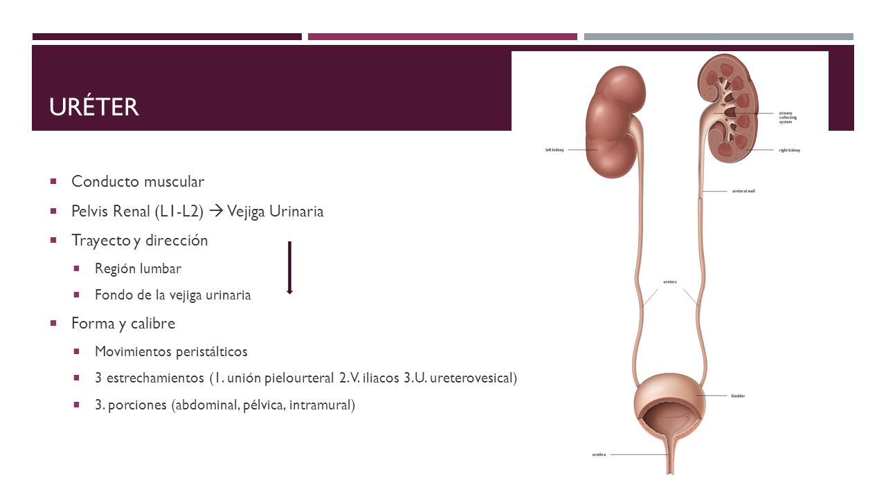 Sistema urinario. - ppt video online descargar