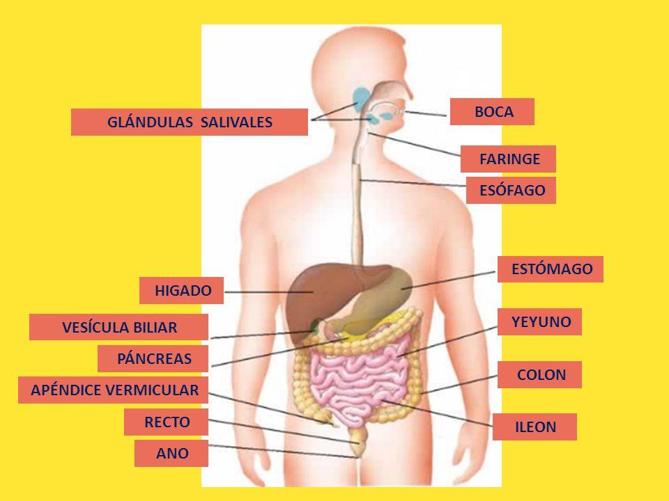 APARATO DIGESTIVO Anatomía y fisiología. - ppt descargar