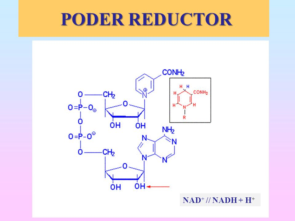 PODER REDUCTOR NAD+ // NADH + H+