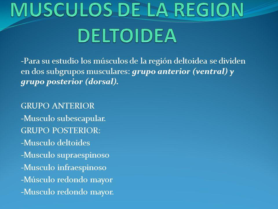 MUSCULOS DEL MIEMBRO SUPERIOR - ppt video online descargar