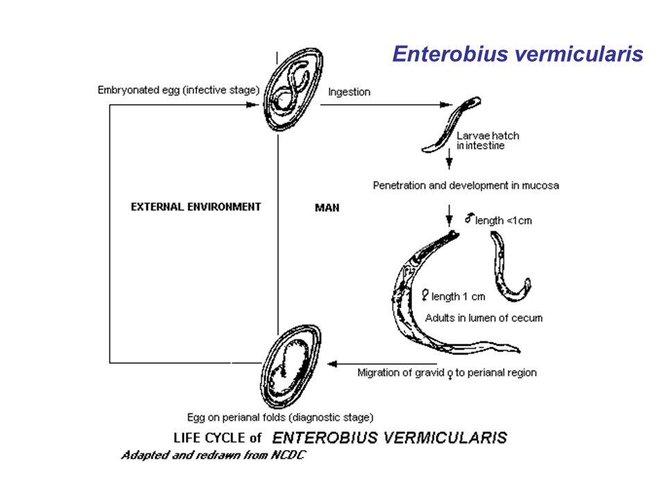enterobius vermicularis fases