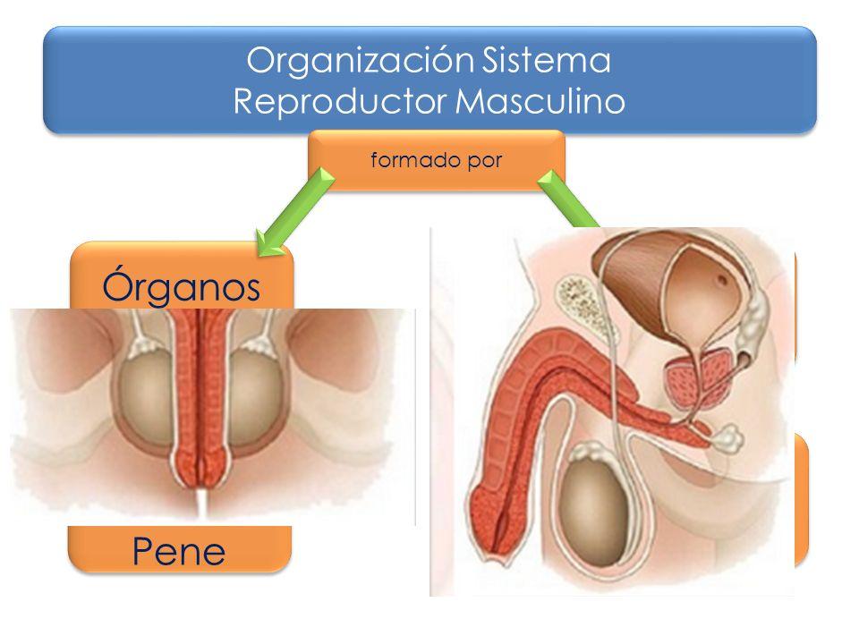 Explorando el Sistema Reproductor Masculino - ppt video online descargar