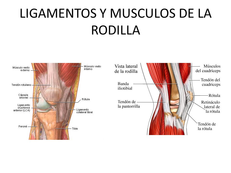 Excelente Fotos De Músculos De La Rodilla Fotos - Imágenes de ...