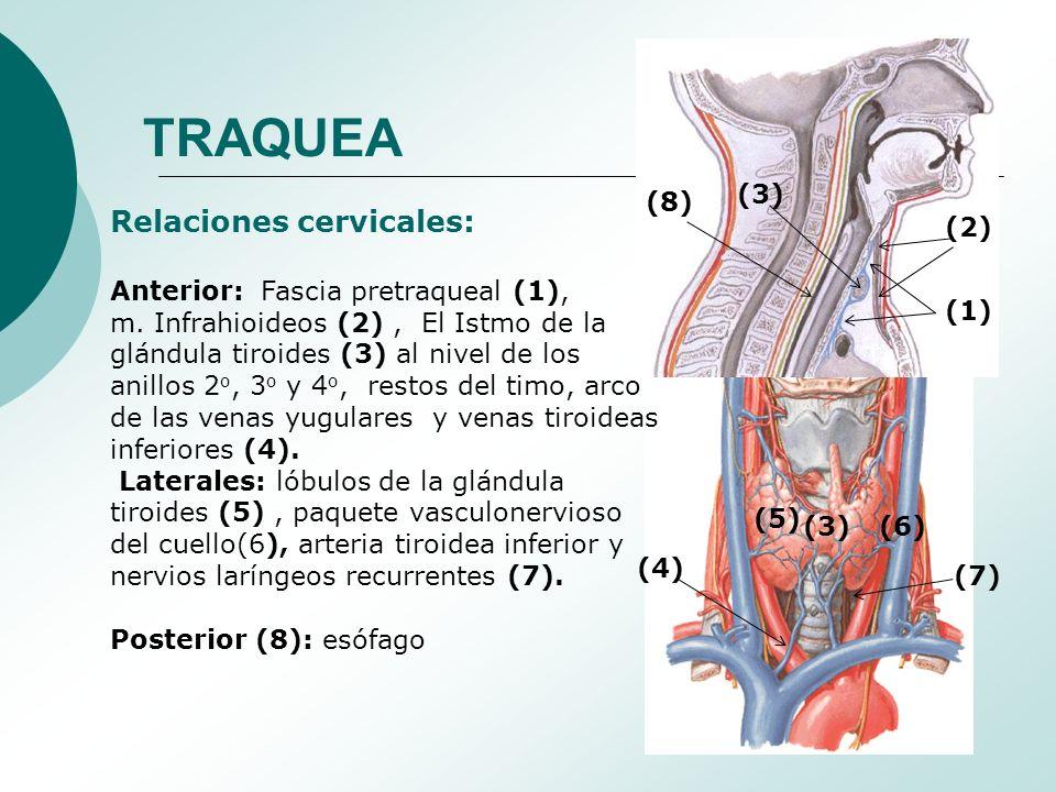 ANATOMIA DE TRAQUEA. - ppt descargar