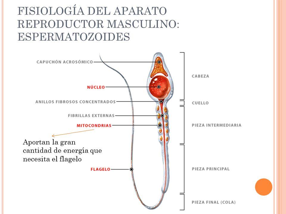 Dorable Anatomía Y Fisiología Del Sistema Reproductor Masculino ...