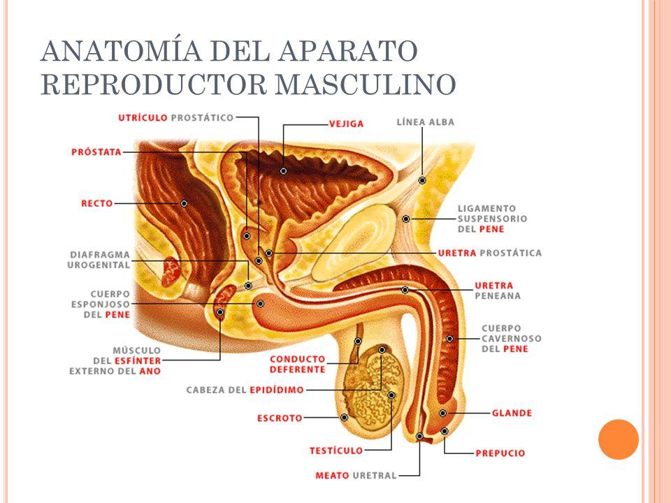 Famoso Anatomía Y Fisiología Del Sistema Reproductor Masculino Ppt ...