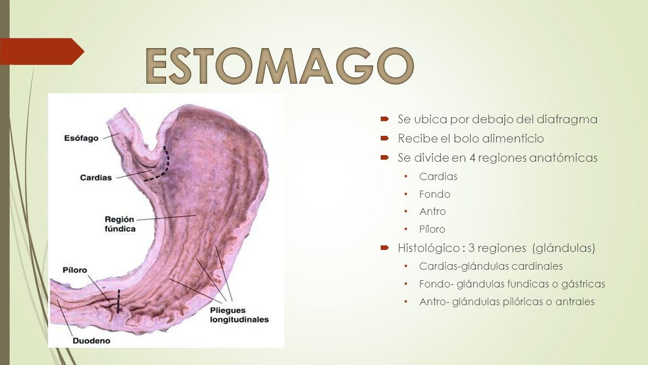 ESTENOSIS PILORICA GASTRITIS: AGUDA CRONICA ATROFICA HIPERTROFICA ...