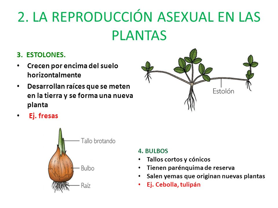 Reproduccion asexual en plantas por estolon