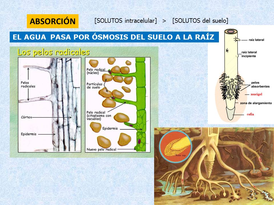 Nutrici n vegetal ppt video online descargar - Suelos radiantes por agua ...
