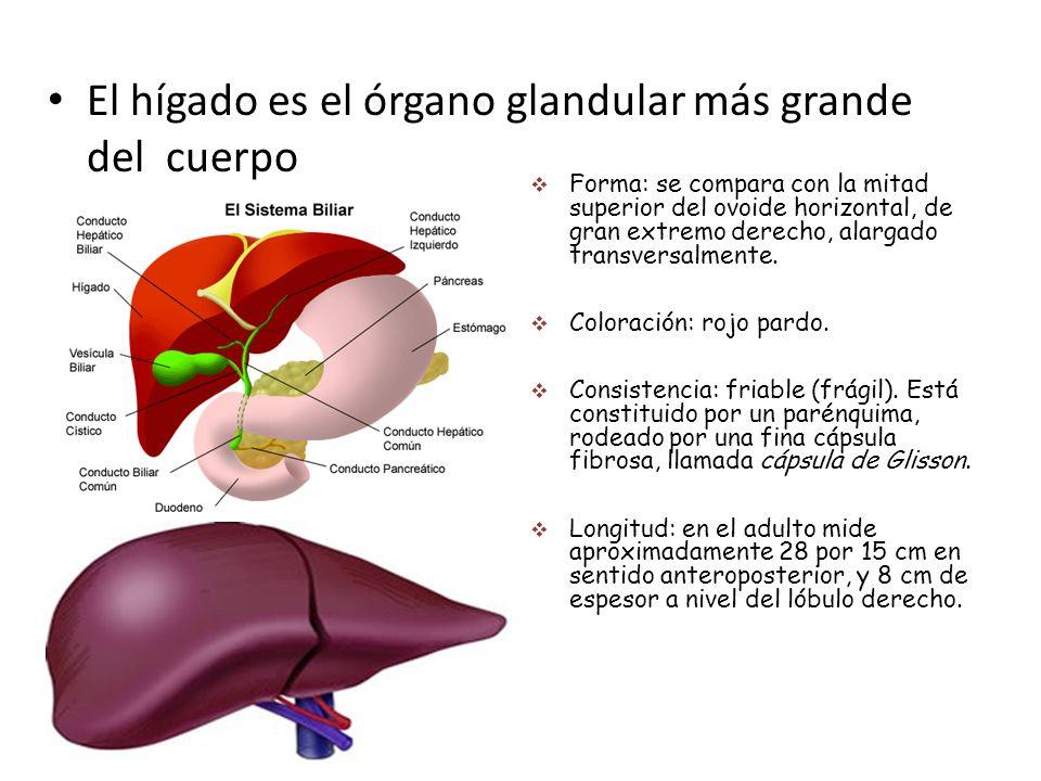 Consideraciones anatómicas y fisiología de Hígado - ppt descargar
