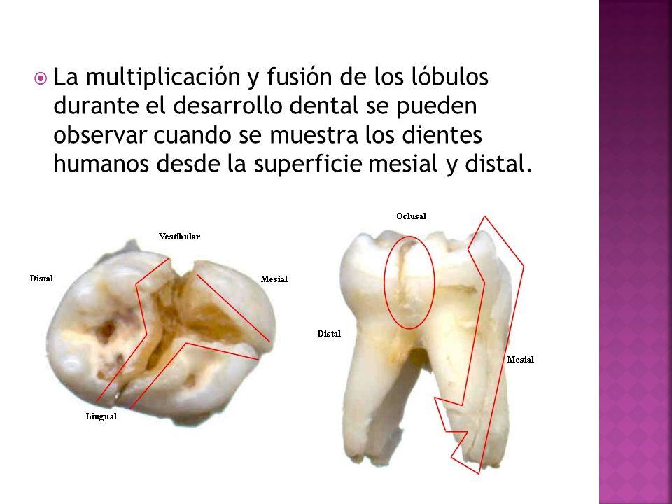Se denomina dentición permanente, a los dientes secundarios, segunda ...