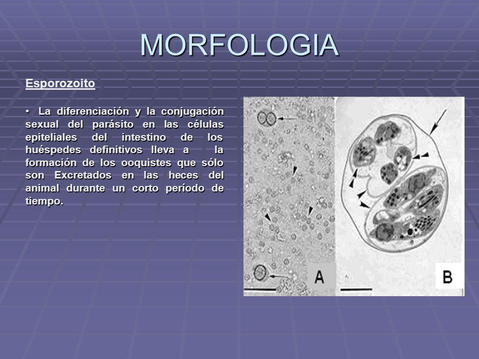 Toxoplazma o z,