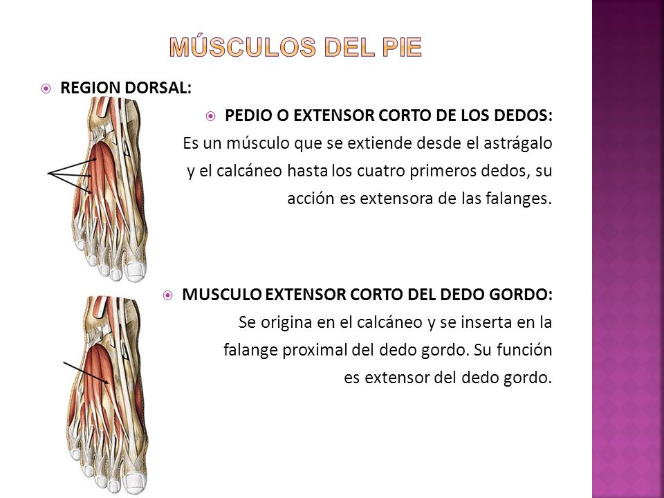 MUSCULOS. - ppt video online descargar