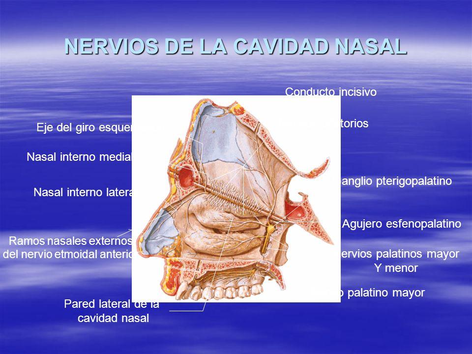 Dr pa l mendoza murillo ppt video online descargar for Pared lateral de la cavidad nasal