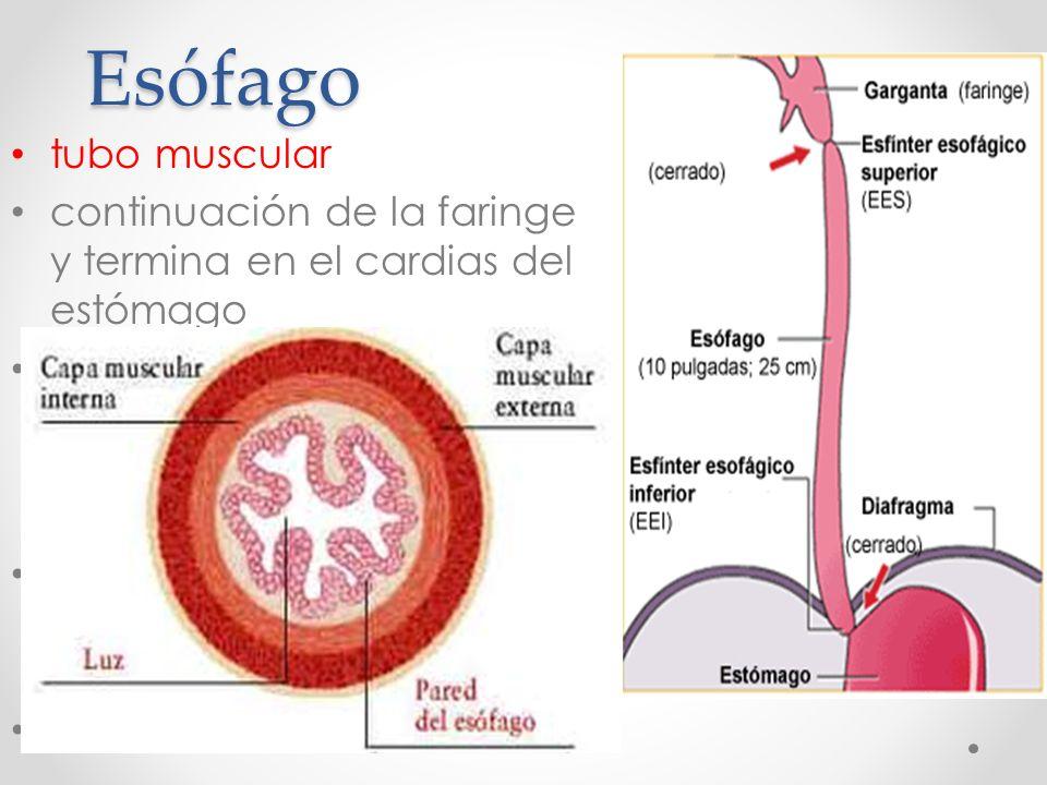 Encantador Anatomía Del Esfínter Esofágico Inferior Imágenes ...