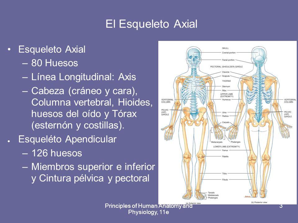 El Sistema Esqulético: Esqueleto Axial - ppt video online descargar