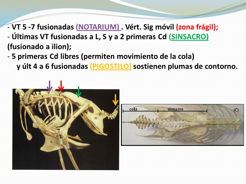 ANATOMOFISIOLOGIA GENERAL DE LAS AVES - ppt video online descargar