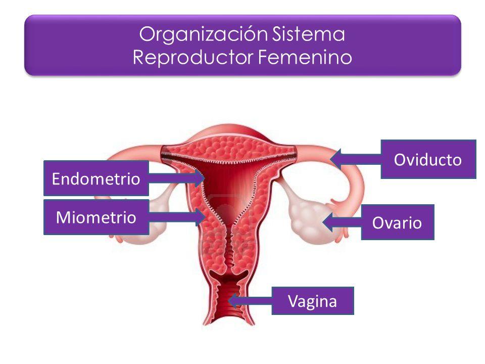 Explorando el Sistema Reproductor Femenino - ppt video online descargar